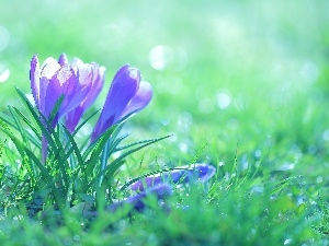 Flowers, crocuses, purple
