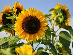 Flowers, Sunflower, summer