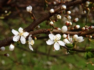 trees, White, Flowers, fruit