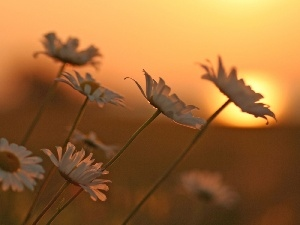 west, White, Flowers, sun