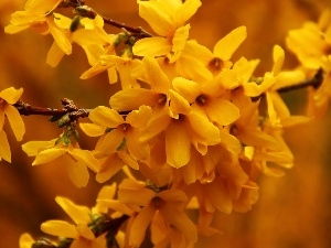 Flowers, forsythia, Yellow