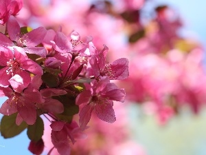 Pink, trees, fruit, Flowers