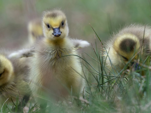 grass, geese, chick