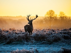 grass, deer, frosted