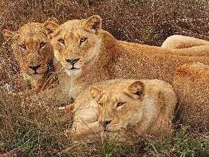 grass, Three, lions