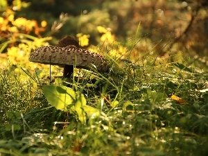 Macrolepiota Procera, Mushrooms, grass, owl