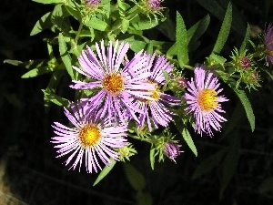 leaves, Aster, green ones
