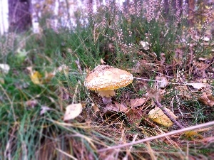 forest, toadstool, heathers, Mushrooms