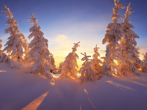 Spruces, Sunrise, The Hills, Snowy, winter
