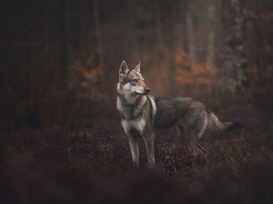 dog, forest, car in the meadow, Czechoslovakian Wolfdog