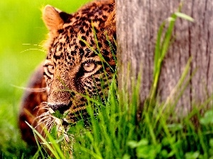 trees, Head, Jaguar, grass