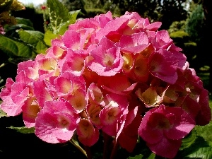Leaf, Garden, hydrangea, Pink, Colourfull Flowers