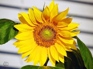 Sunflower, Leaf