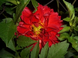 Dalia, Colourfull Flowers, leaves, Red