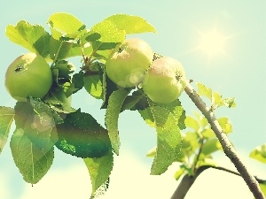 leaves, sun, branch, green ones, apples
