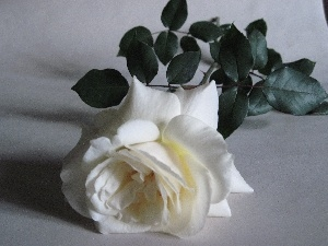 White, green ones, leaves, rose