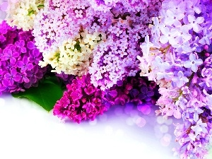 Flowers, lilac