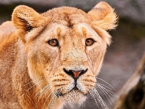 head, lioness