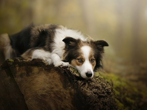 dog, muzzle, log, Border Collie