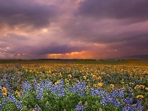 west, Nice sunflowers, lupine, sun