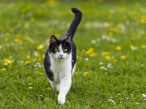 cat, Meadow