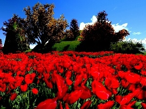 Flowers, Tulips, Meadow, Red