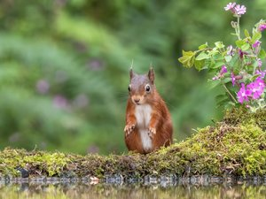 squirrel, water, Flowers, Moss