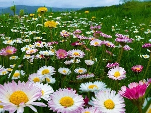 Mountains, Meadow, daisies