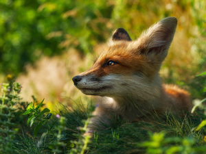 Fox, profile, Plants, muzzle