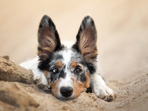 dog, muzzle, Sand, Border Collie