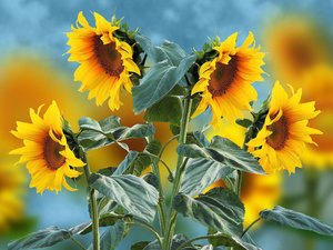 Nice sunflowers, 2D