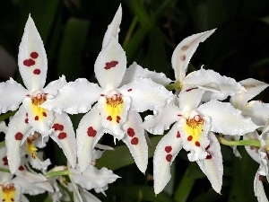 orchids, Flowers, White