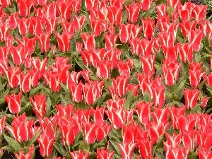 ornamental, tulips, red, white, plantation