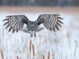 Cane, flight, Tawny owl great gray owl, wings