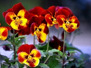 pansies, maroon, Yellow