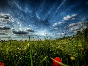 papavers, grass, Sky