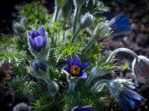 pasque, Flowers, Blue