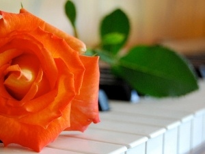 salmon, keyboard, Pianos, rose