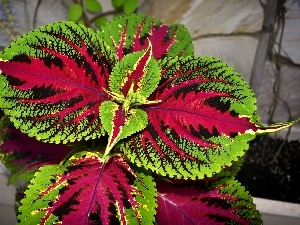 Colourfull Flowers, colors, Coleus, pot