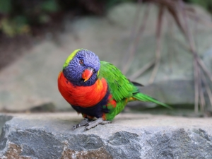 Mountain Rainbow Lorikeet, Bird, parrot
