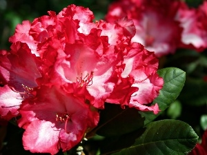 rhododendron, Colourfull Flowers, rapprochement, Red