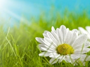 rays, sun, Flower, grass, White
