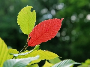 Leaf, green ones, Red