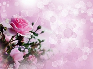 reflections, light, roses, bouquet, Pink