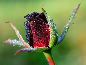 drops, red hot, rose