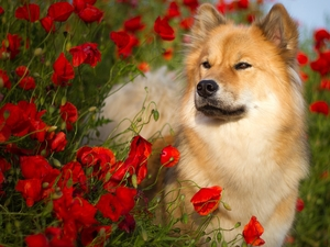papavers, dog, Rurasier Spitz