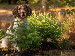 Sapling, English Springer Spaniel, Meadow, forest, dog, Spruces, Flowers