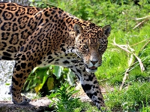 Jaguar, cat, scrub, wild