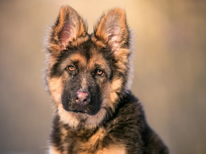 muzzle, Puppy, German Shepherd