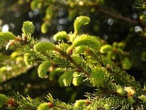shoots, young, conifer, spruce, Twigs, green ones